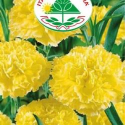 Градински Карамфил - Жълт