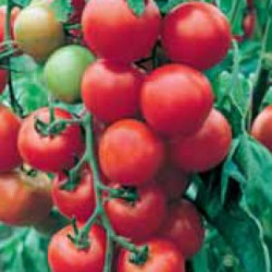 Индетерминантен домат Aida F1