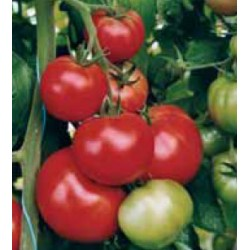 Индетерминантен домат FATIMA F1