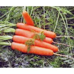 Хибридни моркови CALIBRA F1