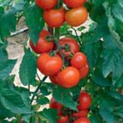 Чери домат PICOLO F1