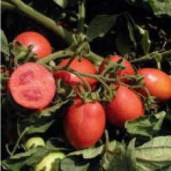 Детерминантен Консервен  домат Sharada