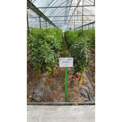 Индетерминантен едроплоден червен домат SX - 800 F1