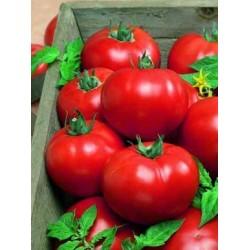 Детерминантен домат SHEDRIK 300 F1